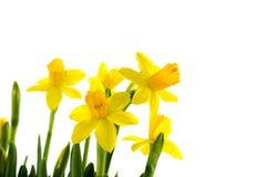 Żółty narcyz zdjęcie stock
