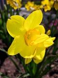Żółty narcyz w ogródzie obrazy royalty free