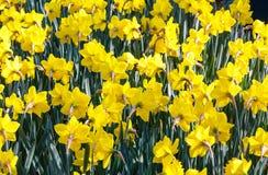 Żółty narcyz (zakończenie) Obrazy Royalty Free