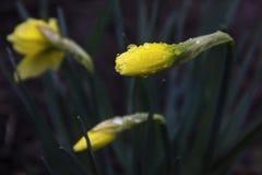 Żółty narcyza kwiat z wodą Opuszcza wiosna kwiaty fotografia royalty free