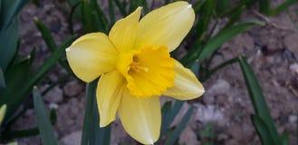 Żółty narcyza pseudonarcissus obraz stock