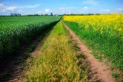 Żółty oilseed gwałta pole pod niebieskim niebem Obraz Stock