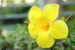Żółty okwitnięcie kwiatu zbliżenia stuknięcie fotografia stock