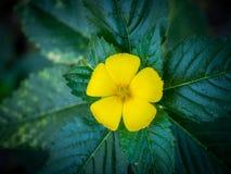 Żółty olchowy kwiat 01 Obraz Royalty Free
