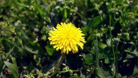 Żółty osamotniony dandelion dorośnięcie w świeżej zielonej trawie Wideo zamknięty w górę żółty dandelion zbiory