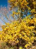 Żółty oszałamiająco zakończenie w górę drzewnego urlop jesieni tła drzewa Zdjęcie Stock