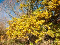 Żółty oszałamiająco zakończenie w górę drzewnego urlop jesieni tła drzewa Obrazy Royalty Free