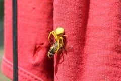Żółty pająka łasowania szerszeń Obrazy Stock