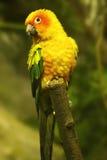Żółty papuzi Zdjęcie Royalty Free