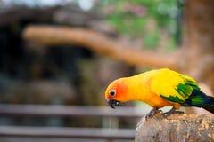 Żółty papuzi ptak, słońca conure fotografia royalty free