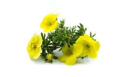 żółty pięciopalcowy kwiat odizolowywający na białym tle zdjęcia stock