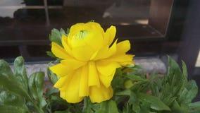 żółty piękny kwiat Obraz Royalty Free