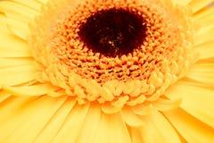 Żółty piękny kwiatu gerbera z czerni centrum zbliżeniem Obrazy Stock