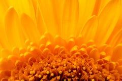 Żółty piękny kwiatu gerbera zbliżenie Zdjęcie Stock
