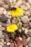 Żółty pierwiosnek i pszczoła. Zdjęcia Royalty Free