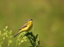 Żółty pliszka śpiewania Fotografia Royalty Free