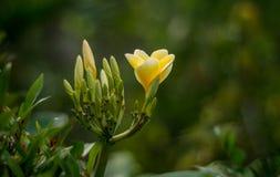 Żółty plumeria kwiatu pączek fotografia stock