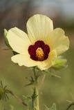 Żółty poślubnik Zdjęcie Royalty Free