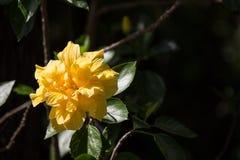 Żółty poślubnika kwiat w czarnym darda tle zdjęcia royalty free