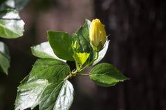 Żółty poślubnika kwiat w czarnym darda tle zdjęcie stock