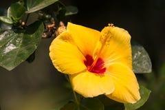 Żółty poślubnika kwiat w czarnym darda tle obraz royalty free