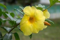 Żółty poślubnika kwitnienie w tropikalnym ogródzie fotografia stock