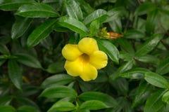 Żółty poślubnika kwitnienie w tropikalnym ogródzie obrazy royalty free