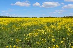 Żółty pole w lecie zdjęcia royalty free