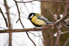 Żółty ptak na gałąź obraz royalty free