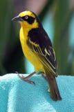 Żółty Ptak Tkacza Finch lub zdjęcia stock