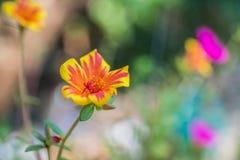 Żółty Purpurowy Portulaca oleracea kwiat grandiflora na zamazanym b Zdjęcia Stock