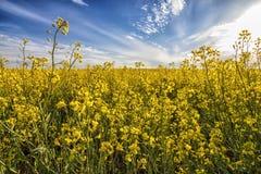 Żółty rapeseed i piękna niebo w wiośnie Zdjęcie Royalty Free