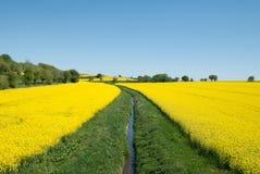 Żółty Rapeseed kwiat Zdjęcia Royalty Free