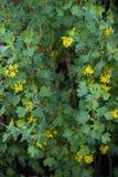 żółty Ribes aureum kwiatu kwitnienie Fotografia Stock