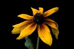 Żółty Rudbeckia kwitnie zakończenie Obrazy Stock