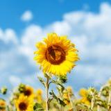 żółty słonecznik Obrazy Royalty Free