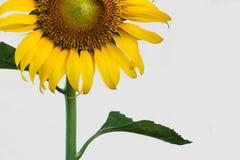 żółty słonecznik Fotografia Stock