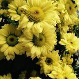 żółty słonecznik Zdjęcie Royalty Free