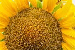 żółty słonecznik Zdjęcia Royalty Free