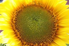 żółty słonecznik Obraz Royalty Free