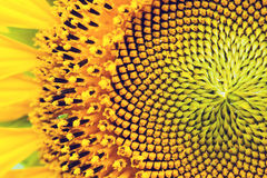 żółty słonecznik Zdjęcia Stock