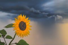 Żółty słonecznik na burzowym dniu Obrazy Stock