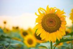 Żółty słonecznik, niebo, piękny obraz royalty free