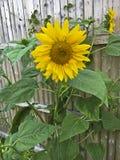 Żółty słonecznikowego bright obraz stock