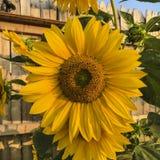 Żółty słonecznikowego bright fotografia stock