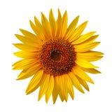 Żółty słonecznikowy Zdjęcia Royalty Free