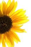 Żółty słonecznikowy fotografia royalty free