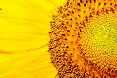 Żółty Słonecznikowy zbliżenie Makro- obraz stock