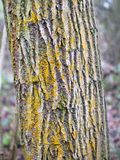 Żółty skorupa liszaj zakrywa barkentynę drzewo zdjęcia stock
