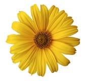 Żółty stokrotka kwiat na białym odosobnionym tle z ścinek ścieżką Kwitnie dla projekta, tekstura, pocztówka, opakowanie zbliżenie zdjęcia royalty free